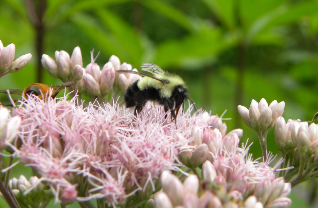 The Bumble Bee, is another pollinator in the wild. It is also a favorite for hot house tomatoes. Here she collects pollen and/or nectar from Joe Pye Weed.